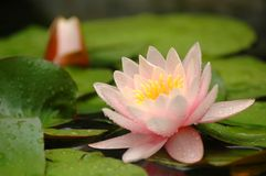Water lily flower. The beautiful water lily flower Stock Photography