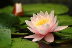 Water lily flower. The beautiful water lily flower Royalty Free Stock Image