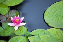 Water Lily flower. And green leafs Royalty Free Stock Images