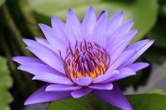 Water Lily Flower Royalty-vrije Stock Afbeeldingen