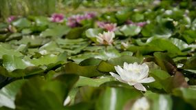 Water Lily, Flower, Aquatic Plant Stock Photography