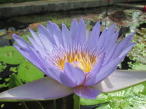 Water lotus flower. Beautiful water lotus rare species Royalty Free Stock Photo