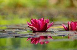 Water Lily, Flower, Blossom, Bloom Royalty Free Stock Photo