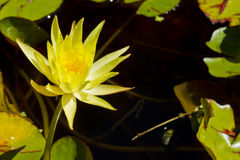 Water lily flower Royalty Free Stock Photo