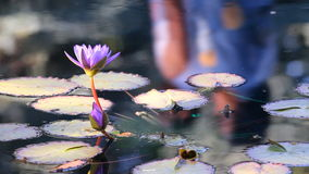 Water lily flower. In the city park stock footage