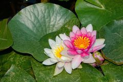 Water lily flower. The close-up of pink and white water lily flower Stock Image