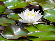 Water lily  flower closeup Stock Photography