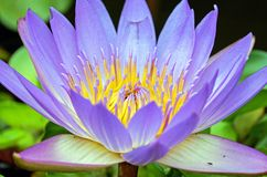 Water Lily, Flower, Flowers, Purple Royalty Free Stock Photography