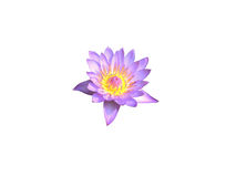 Water lily flower isolated Royalty Free Stock Photo