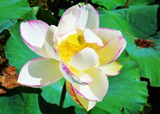 Water lily flower Stock Images