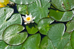 Water lily flower on lake. Water lily and green leaves on lake Stock Image