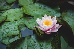 Water lily flower on lake surface among green leaves. Blooming lotus background. Place for text. Top view. Water lily flower on lake surface among green leaves royalty free stock images