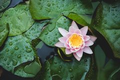 Water lily flower on lake surface among green leaves. Blooming lotus background. Place for text. Top view. Water lily flower on lake surface among green leaves stock photography