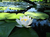 Water lily flower lake on water under willow branch. Royalty Free Stock Photos
