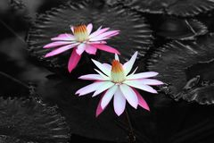 Water lily, flower, lotus, beautiful water lily. Beautiful of water lily in the morning Stock Photos