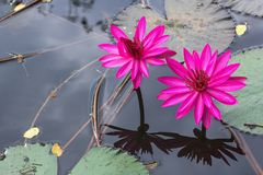 Water lily flower lotus and leaf. On black water background Royalty Free Stock Photos