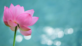 Water lily flower panoramic image Stock Photo