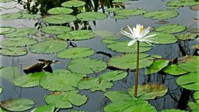 Water lily flower stock video