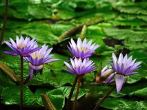 Water Lily, Flower, Pond, Aquatic Royalty Free Stock Photo