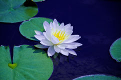 Water lily flower. In a pond. Peaceful meditative zen setting Stock Photo