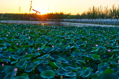 The water lily flower pond sunset Royalty Free Stock Image