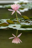Water Lily flower reflection on water Royalty Free Stock Photo
