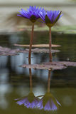 Water Lily flower reflection on water Royalty Free Stock Photos