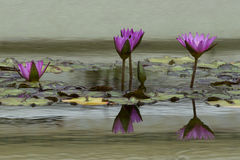 Water Lily flower reflection on water Royalty Free Stock Image