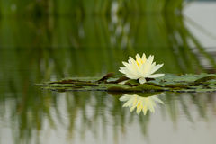 Water Lily flower reflection on water stock photo