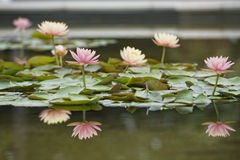 Water Lily flower reflection on water Royalty Free Stock Photography