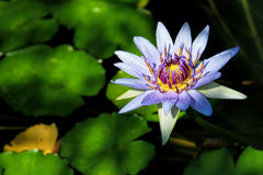Water lily flower- selective focus Stock Photos