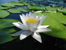 Water lily flower sunlit on lake close-up. Sky are reflected in water Royalty Free Stock Images