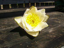 Water Lily flower table. Water Lily flower lying on wooden table Royalty Free Stock Image