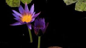 Water lily flower Time lapse Stock Images