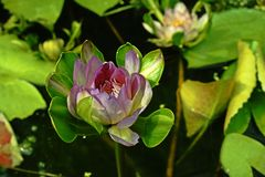 Water lily flower Royalty Free Stock Photography