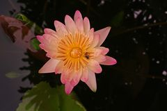 Water lily flower Royalty Free Stock Images