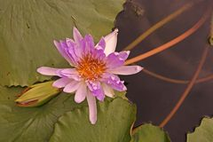 Water lily flower Royalty Free Stock Photos
