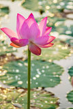 Water lily flower vertical image Royalty Free Stock Photography