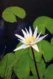 Water lily flower, white Nymphaea species. A photograph showing a beautiful variety of white waterlily flower, scientific name Nymphaea, surrounded by green lily Stock Image