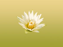 Water lily flower. Royalty Free Stock Photos