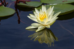 Water lily flower stock photo