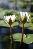 Water lily flowers Stock Photos