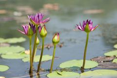Water lily flowers Royalty Free Stock Photos