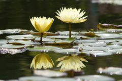Water lily flowers stock image