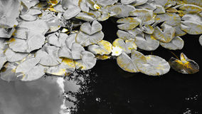 Water lily flowers against a monochromatic background. Monochromatic view of Waterlily flowers Nymphaea viewed against decaying leaves royalty free stock image
