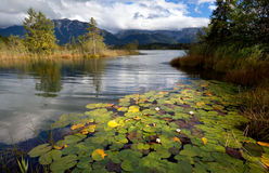 Water lily flowers on alpine lake in Bavarian Alps Royalty Free Stock Photo