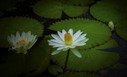 Water lily. Flowers blooming in water Royalty Free Stock Image