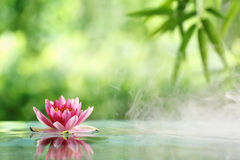 Water lily. Flowers blooming in pond Stock Images