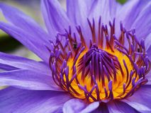 Water lily flowers stock photo