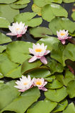 Water lily flowers Royalty Free Stock Images
